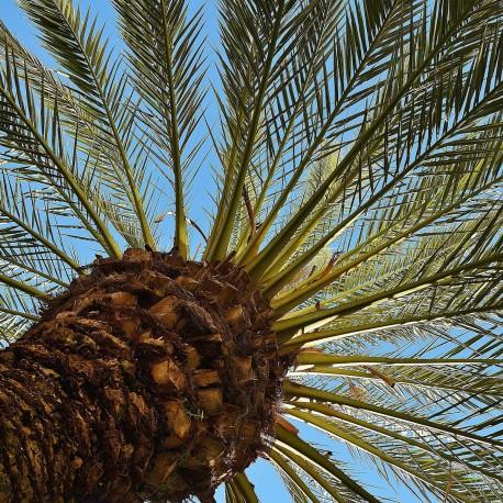 pheromone - PheroNorm® Charançon rouge du palmier