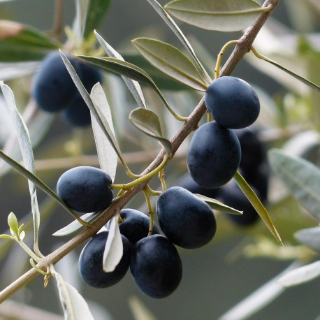 pheromone - PheroNorm® Mouche de l'olive