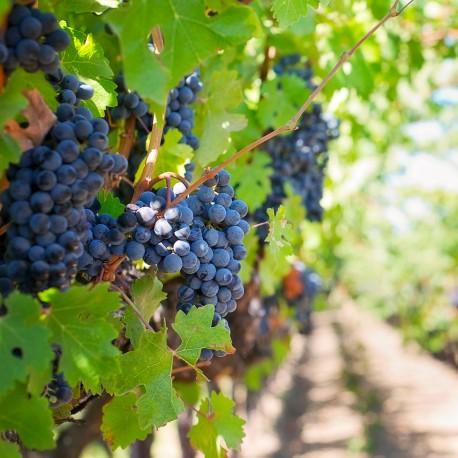 Pièges phéromones - PheroNorm® Eudémis de la vigne - Andermatt France