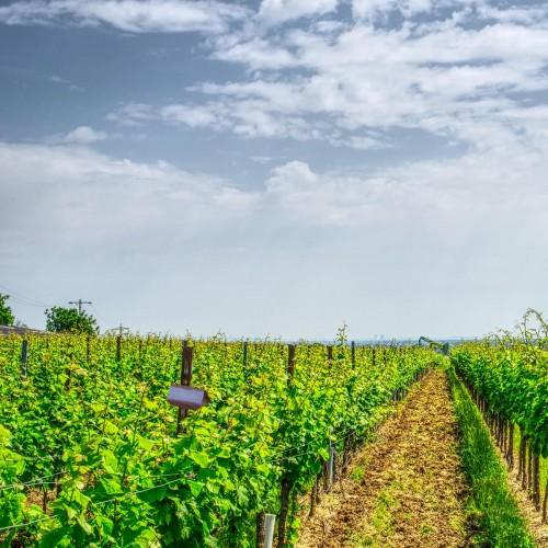 Kit PheroNorm® Cochylis de la vigne