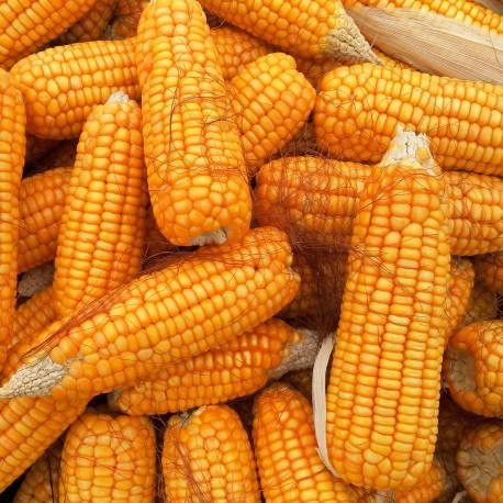 pheromone - PheroNorm® Chrysomèle des racines du maïs M + F