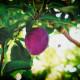 pheromone - PheroNorm® Carpocapse des prunes