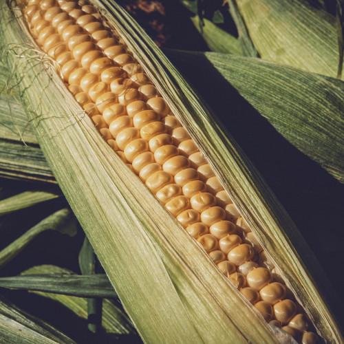 pheromone - PheroNorm® Chrysomèle des racines du maïs M