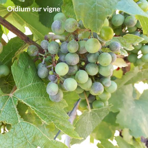 vitisan_vigne
