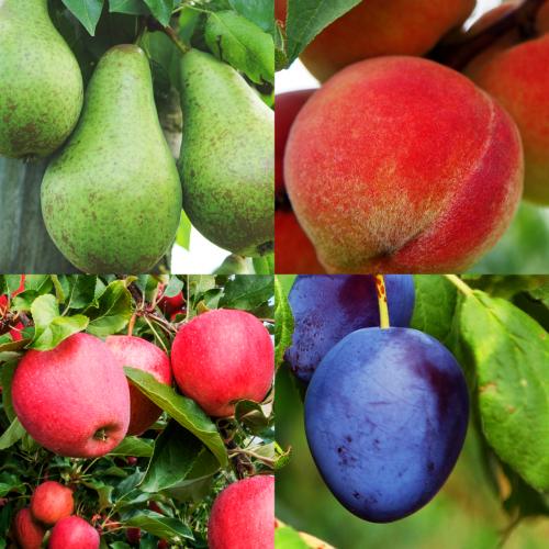 lutte_biologique_carpocapses_arbre_fruitier