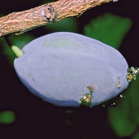 Pièges phéromones - PheroNorm® Carpocapse des prunes - Andermatt France