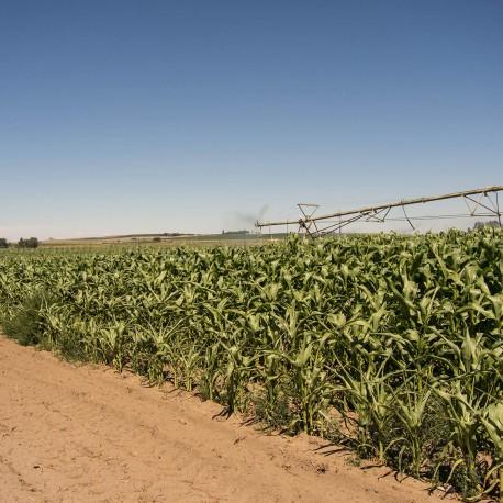Pièges phéromones - PheroNorm® Chrysomèle des racines du maïs M - Andermatt France
