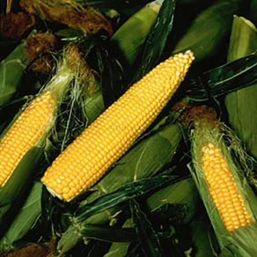 Pièges phéromones - PheroNorm® Chrysomèle des racines du maïs M + F - Andermatt France