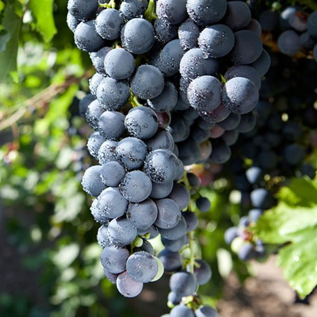 PheroNorm® - PheroNorm® Pyrale de la vigne - Andermatt France