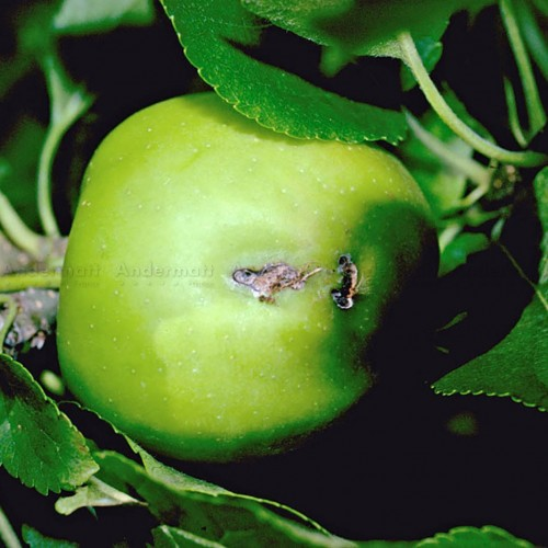 Pièges phéromones - PheroNorm® Ver des jeunes fruits - Andermatt France