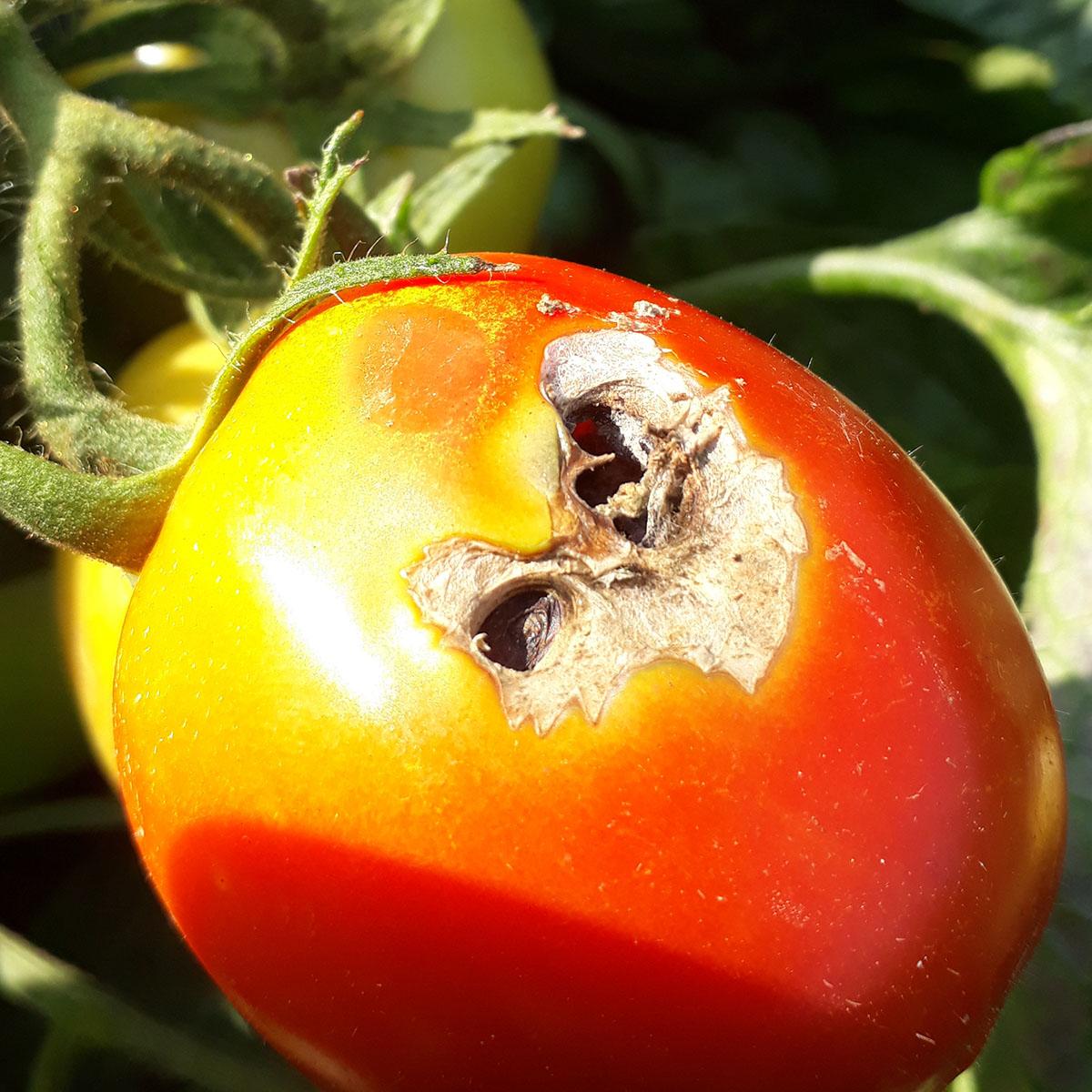 Comment lutter contre la mineuse de la tomate ?
