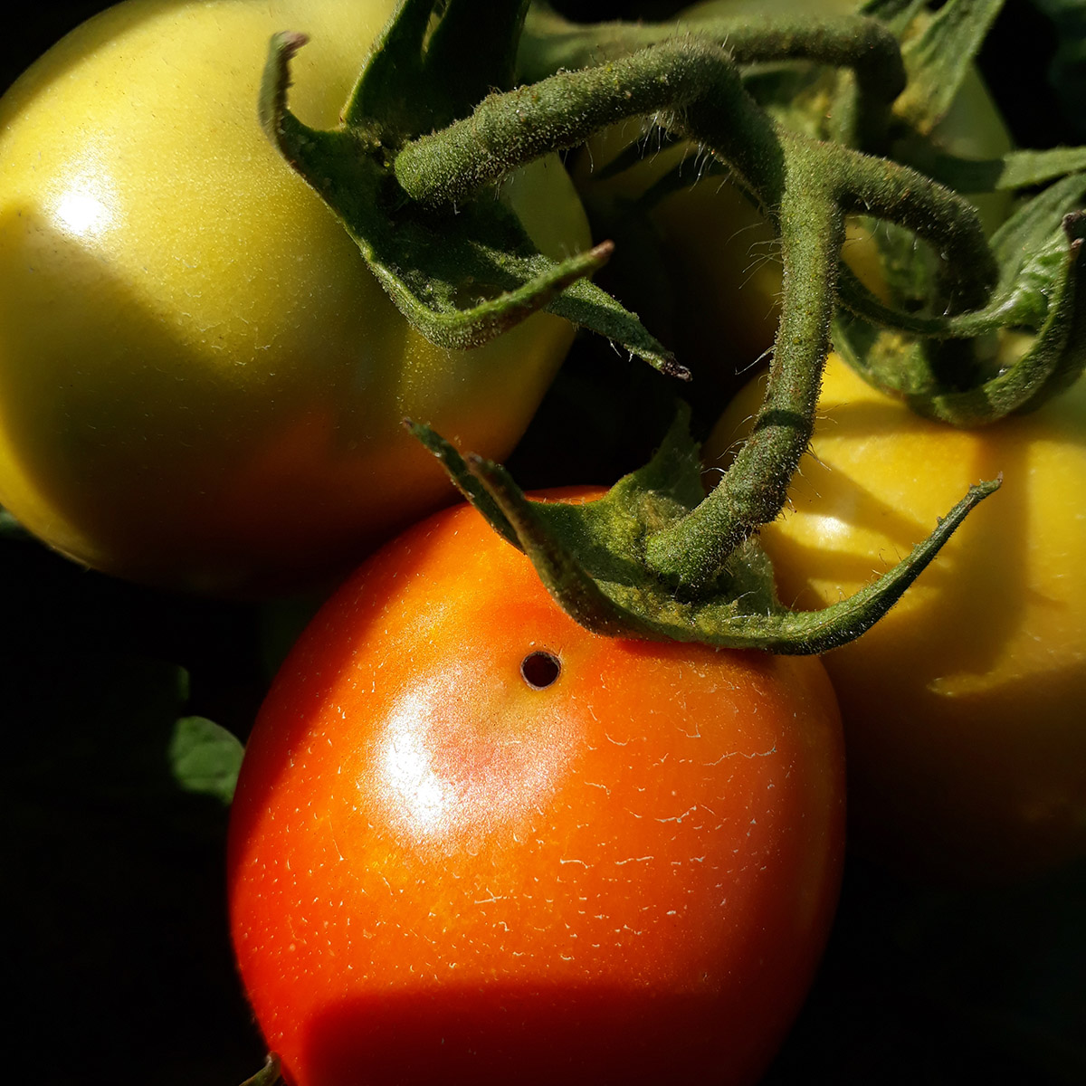 Mineuse tomate dégâts