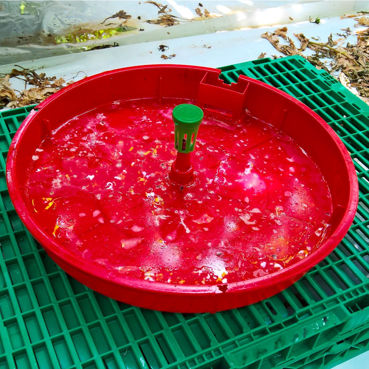Piéger la mineuse de la tomate