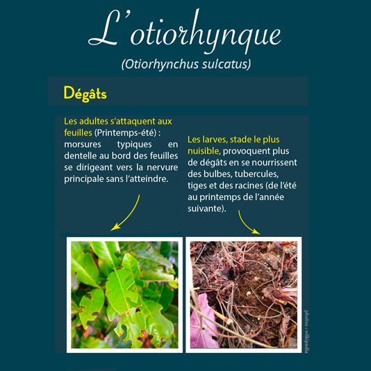 ravageur-otiorhynque-andermatt-france.pn