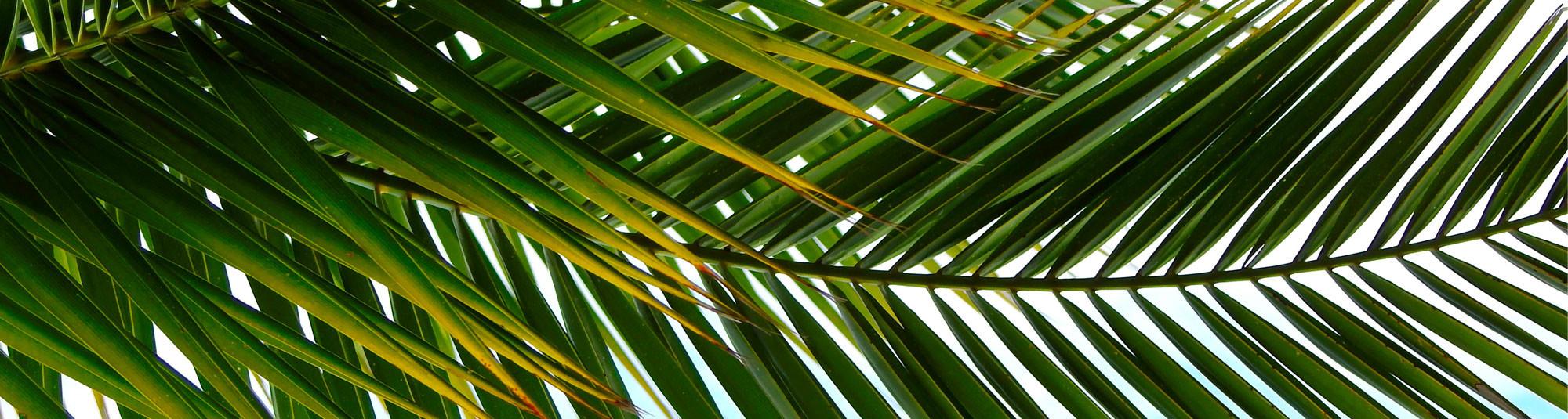 Protégez vos palmiers contre les Charancons rouges et les papillons palmivores